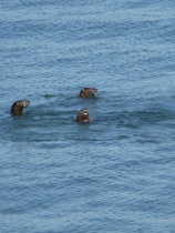 Sea Otters on the trail