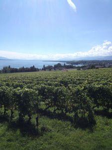 Vineyards near Perroy