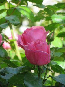 Rose in La Foce Gardens
